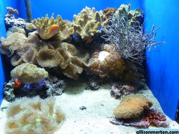 clown-fish-shedd-aquarium-allisonmerten