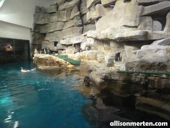 penguin-shedd-aquarium-allisonmerten