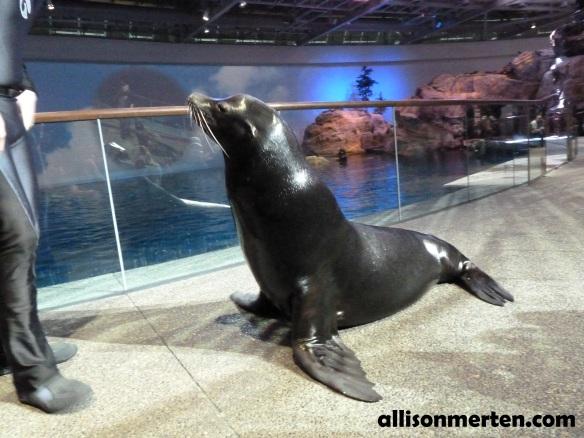 sea-lion-shedd-aquarium
