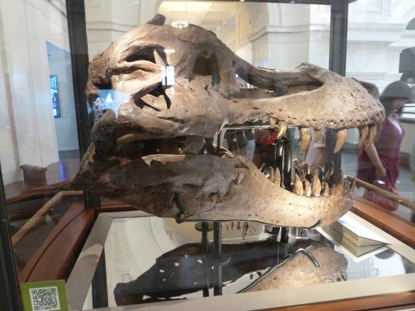 Field Museum-Sue's real skull