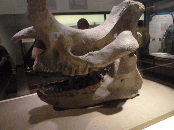 "Field Museum:""Opening the Vaults: Wonders of the 1893 World's Fair"" Exhibit -Brontothere Skull and Mandible"