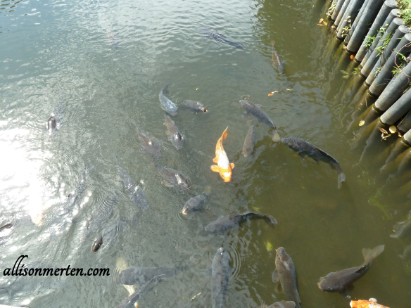 Look at all the Koi! You can tell people like to feed them ;-)