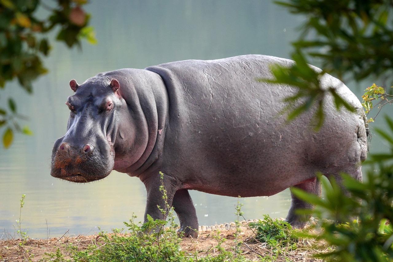 Hippo For Christmas.I Want A Hippopotamus For Christmas Allison Merten