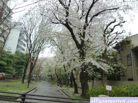 sakura-japan-allisonmerten